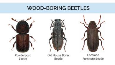 مستأجر وحي الهام البراءة حشرات الخشب المنزلية Dsvdedommel Com